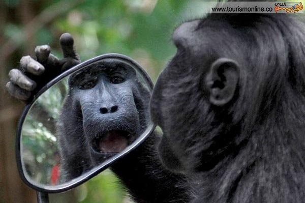 میمونی که از آینه دل نمی کند!