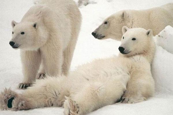 polar-bear (2)