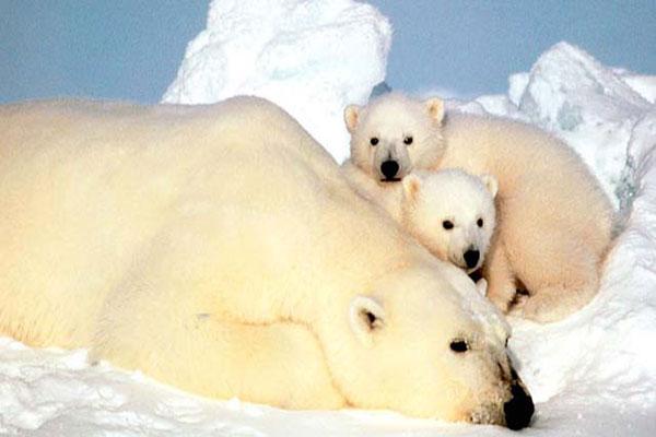polar-bear (3)