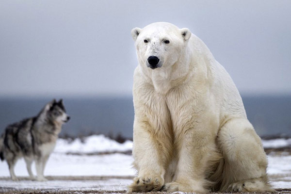 polar-bear (4)