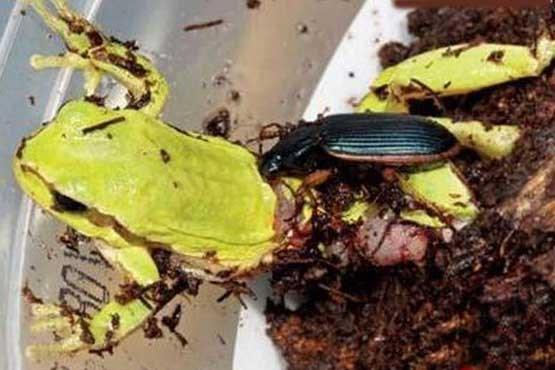 عکس هایی وحشتناک از بی رحم ترین حشره دنیا!