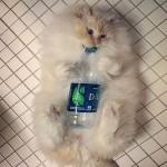 پشمالو ترین گربه جهان که تا به حال ندیده اید + تصاویر