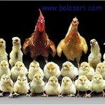 روشهایی برای جوجه کشی مرغ