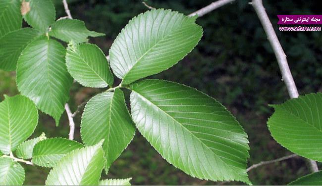 استفاده از برگ نارون برای درمان رفلاکس معده