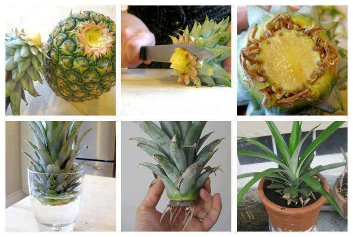 آموزش کاشت و پرورش آناناس در منزل