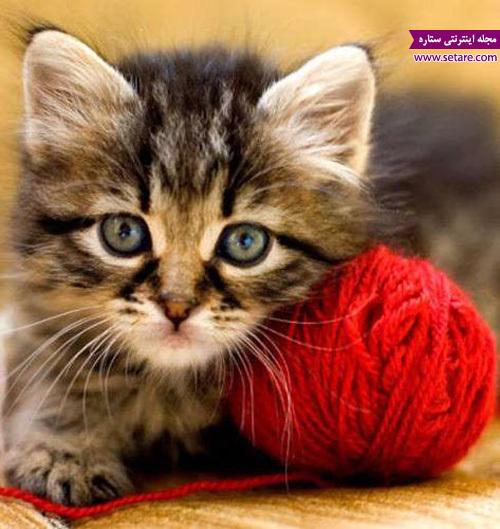 عکس گربه خانگی - گربه و کاموا