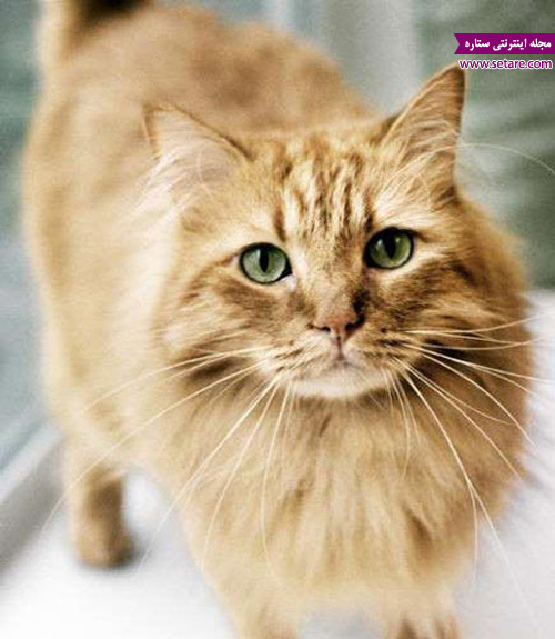 لنگیدن گربه - راه رفتن گربه خانگی