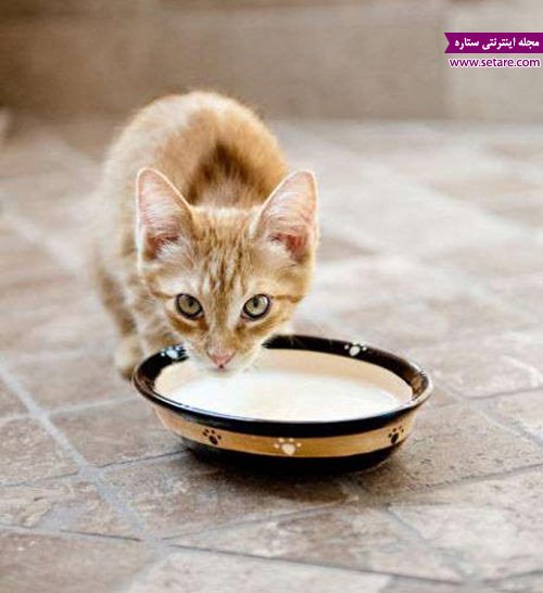 شیر خوردن گربه خانگی - عکس گربه