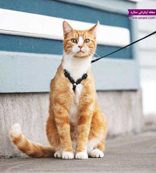 قلاده گربه خانگی - نگهداری از حیوانات خانگی