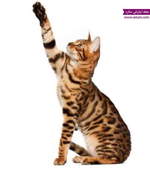 چنگ زدن گربه - شیطنت گربه خانگی