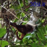 نخستین عکس گرفته شده از خورده شدن میمون توسط مار دهن گشاد!