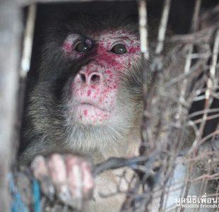 ازادی میمون بعد از ۲۵ سال شکنجه